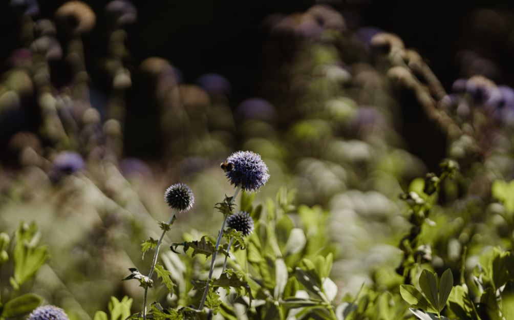 Thistles in field with bee